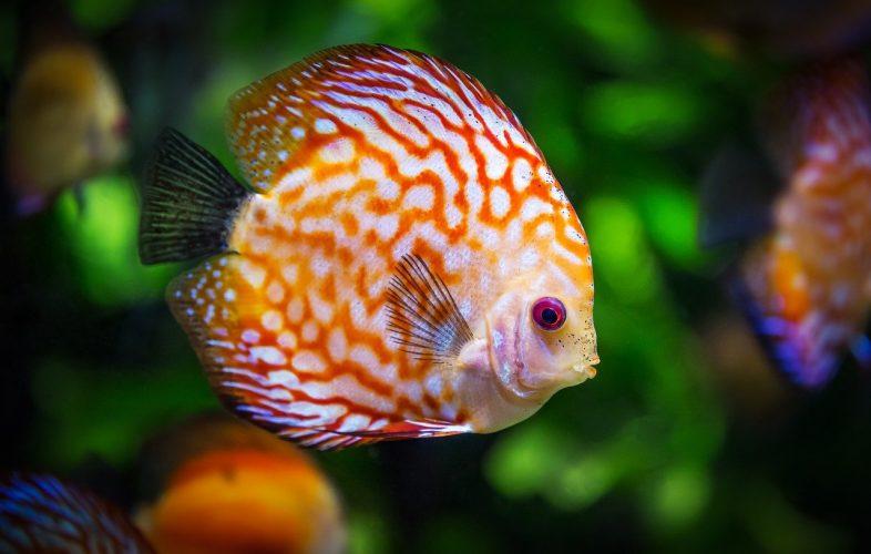 discus fish, water treatment, plant food aquariumtank